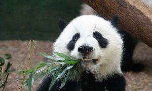 Panda Bear, Atlanta Zoo in Grant Park